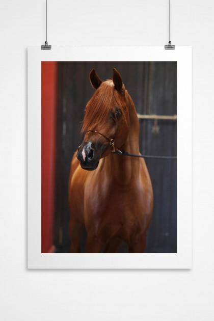 Poster Arabian Horse Morrocco - By Emmanuel Catteau