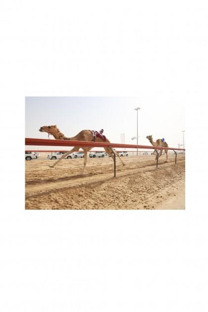 Poster Camel Race By Emmanuel Catteau