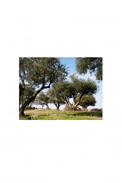 Poster Olive Trees - Syria - By Emmanuel Catteau