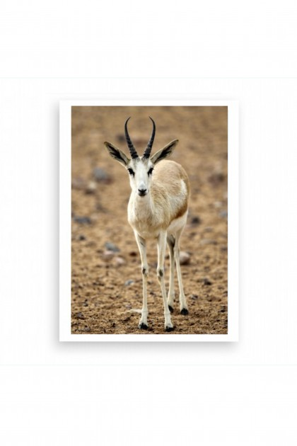 Poster Antelope - Abu Dhabi By Emmanuel Catteau
