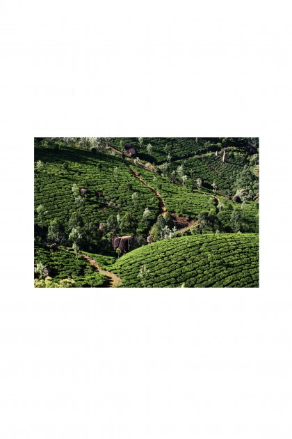 Poster Tea Garden - India - By Emmanuel Catteau