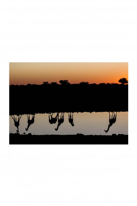 Poster Girafe Reflection - Namibia By Emmanuel Catteau